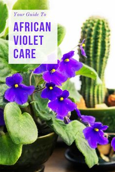 African violet care guide You are in the right place about Gardening Supplies s. African violet ca Indoor Gardening Supplies, Garden Supplies, Container Gardening, Violet Garden, Violet Plant, House Plant Care, House Plants, Living Pool, Outdoor Living