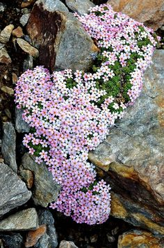 pink flowers among the rocks-another idea for my garden