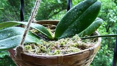 Phalaenopsis, čili orchidej, má kořeny velmi citlivé na vlhkost. Může se stát, že v plastovém květináči kořeny pomalu nepozorovaně uhnívají. Napadlo by Vás přesadit orchidej do květináče z jiného materiálu? Ano. Dřevěný květináč dokáže zázraky. Dřevěný květináč umožňuje dostatečný přísun vzduchu přímo ke kořenům. Tento fakt dokonale zabraňuje hnilobě. Sdílejtetenhlegeniální …