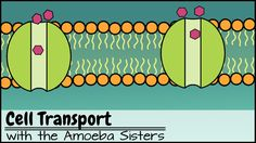 Cell Transport: Explore the types of passive and active cell transport with the Amoeba Sisters! Transport types covered include simple diffusion, facilitated diffusion, endocytosis, and exocytosis. #science #Biology