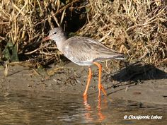 Common Redshank / Rødben