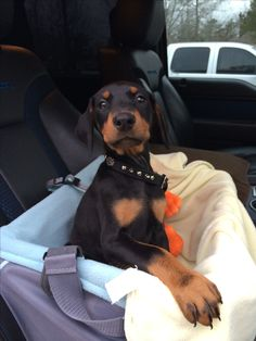 Going for a ride! / Doberman