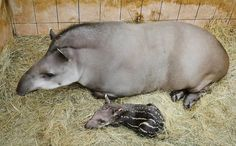 A newborn South American female tapir baby lies next to her mother at the Debrecen Zoo in Budapest, Hungary on April 16. The baby was born on April 15. Her parents came to the zoo in March 2011 as part of a species conservation program.