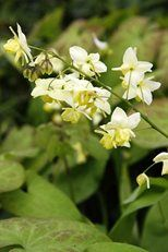 Epimedium x perralchicum Most evergreen epimediums are good in dry shade; this one makes a dense clump of rather tough, leathery leaves spli...