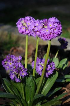 Growing with plants: Primula denticulata -The Drumstick Primrose