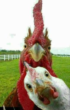 """Yep, photo-bombed, again!"" Chickens Rule this animal photo. Farm Animals, Animals And Pets, Funny Animals, Cute Animals, Chicken Humor, Chicken Art, Beautiful Birds, Animals Beautiful, Chickens And Roosters"