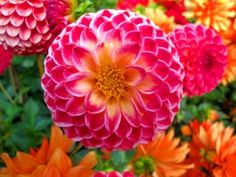I love dahlias - click for more info on how to grow
