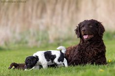 """Wetterhoun / Frisian Water Dog / Otterhoun / Dutch """"Spaniel"""" Dog"""