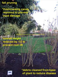 Roses  Fall Pruning: thin and remove crossing canes to prevent wind damage. Reduce overall height by 1/3 to prevent root lift. Clean debris from base of plant to reduce disease.