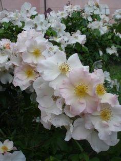 blog di Sara: rosa Sally Holmes
