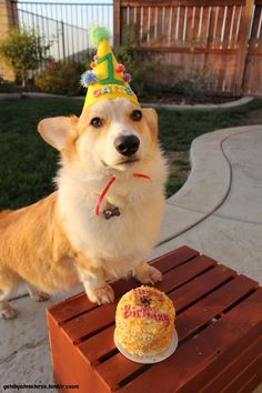It's a fluffy pembroke They have a birthday hat on They have a birthday cake THEIR NAME IS GATSBY Brine Brine Nettleton Johnson I need a corgi I can name Gatsby and they would be great friends with Hemy Corgi Funny, Cute Corgi, Corgi Dog, Cute Puppies, Animals And Pets, Cute Animals, Party Animals, Funny Animals, Birthday Corgi