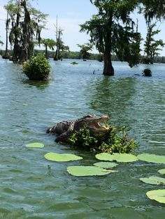 Sunbathing Alligator, Lake Martin, Breaux Bridge