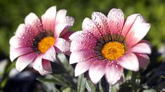pics of flowers | Two wet flowers - Nature - 1920 x 1080 - Desktop wallpapers - MIRIADNA ...
