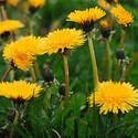 weeds lawn control problems cures crabgrass dandelions insects beetles