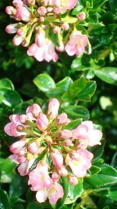 Escallonia Apple Blossom, Shrubs and Hedges to buy online UK