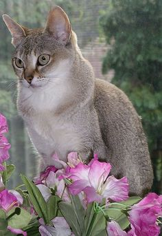 Singapura - Beautiful Cat Photo