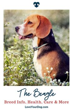 In this article, we take a closer look at the beagle to find out more about the origins of the Beagle dog breed, their personality and character, and potential health issues that sometimes affect these dogs. Puppy Training Tips, Training Your Dog, R Dogs, Dogs And Puppies, Beagle Dog Breed, All Types Of Dogs, Dog Health Tips, Puppies Tips, Dog Hacks