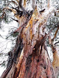 Eucalyptus in rain