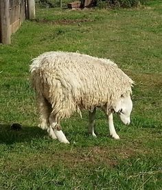 : A sheep in North Yorkshire, England, has an upside-down head, according to the Daily Mail U.K. It is believed the sheep twisted its spine,...