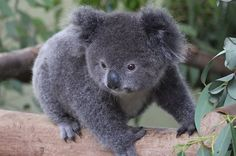 Stop Everything And Look At This Tiny Baby Koala HIS NAME IS ARCHER AND HE'S TINY AND ROUND. Feb 2015
