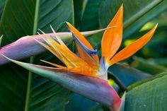 bird of paradise plant: exotic bird of paradise flower and plant on garden Flower Images, Flower Photos, Exotic Flowers, Beautiful Flowers, Birds Of Paradise Plant, Dogwood Trees, Plant Images, Flower Market, Patterns In Nature