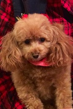 Cheyenne, apricot toy poodle, is a sweet girl pup.