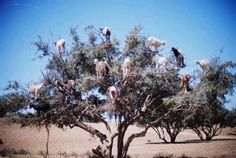 Tree-climbing goats In Morocco, the native Tamri goats are so enticed by the berries of Argan trees that they have become adept at climbing the branches to reach their food. (I MUST SEE! Farm Animals, Cute Animals, Funny Animals, Animal Funnies, Unique Animals, Happy Animals, National Day Calendar, Photoshop, Natural Phenomena