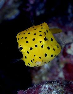 This is an aptly named Boxfish. It is yellow with polka-dots. You're welcome. :)