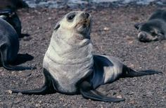 Marine Wildlife Encyclopedia: Antarctic Fur Seal