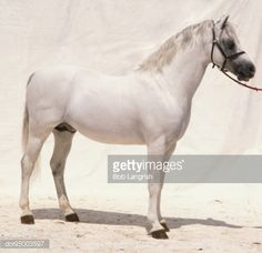 View this Lipizzaner White Coat Mane And Tail Tail Set High On Powerful Hindquarters Deep Body Short Thick Neck Short Strong Limbs Wearing Black Bridle Standing Side View stock photo. Find premium, high-resolution images in Getty Images' library. Lippizaner, Short And Thick, Mane N Tail, Conquistador, White Horses, Side View, Beautiful Horses, Wearing Black, Strong