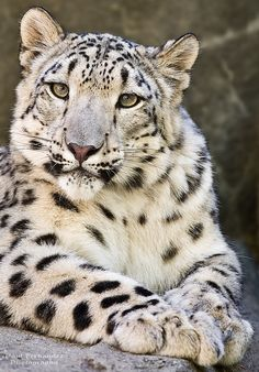 Snow Leopard at the Memphis Zoo, Tennessee  