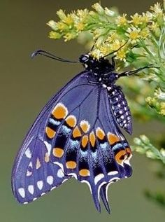 """Says """"blue butterfly"""" but looks more purple to me. Butterfly Effect, Butterfly Kisses, Butterfly Flowers, Blue Butterfly, Butterfly Wings, Flying Flowers, Butterflies Flying, Beautiful Bugs, Beautiful Butterflies"""