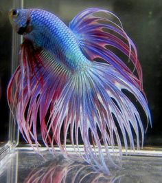 Some interesting betta fish facts. Betta fish are small fresh water fish that are part of the Osphronemidae family. Betta fish come in about 65 species too! Betta Fish Types, Betta Fish Tank, Beta Fish, Fish Tanks, Betta Aquarium, Freshwater Aquarium Fish, Pretty Fish, Beautiful Fish, Colorful Fish