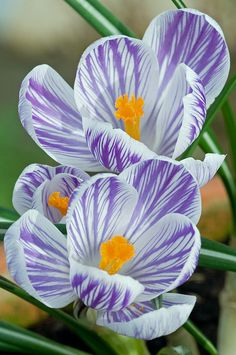 Love to see crocus welcoming us to Spring. Did you know that crocus also bloom in the Fall? It always surprises me to see crocus blooming in my garden in September. (You plant Fall crocus bulbs 'in September' and they bloom the following September. They also multiply too.)