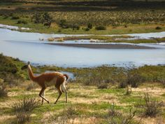 Guanacos roaming in Torres del Paine National Park in Patagonia; by Briana Thiodet briana.t@travelstore.com