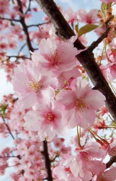 6 Practical Tips To Be More Feminine — Feminine Sisters Unite Japan Sakura, Sakura Cherry Blossom, Cherry Blossoms, Blossom Trees, Flower Aesthetic, Spring Blossom, Cherry Tree, Pretty Wallpapers, Flowering Trees