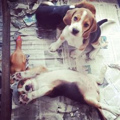 pawforapaw: This is Soufflé and she loooove to stretch Beagle pose! Ho!