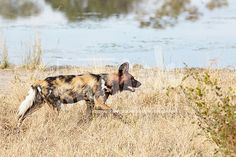 African wild dogs, Lycaon Pictus, running and playing in the african savannah. Movement on the edges, shallow Depth of Field Snatch Stock Images - Stock Photography African Wild Dog, Shallow Depth Of Field, Wild Dogs, Vector Graphics, Animal Photography, Savannah Chat, Vectors, Moose Art, Running