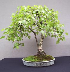 Silver Birch Bonsai from http://www.johnpittbonsaiceramics.co.uk/