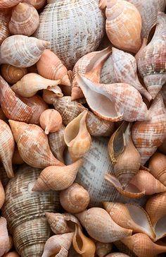 Henry Domke Fine Art Seashell …