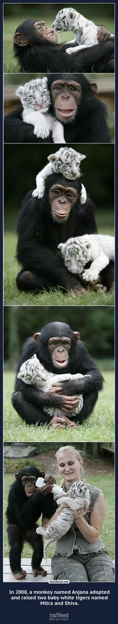 In 2008, a monkey named Anjana adopted and raised two baby white tigers named Mitra and Shiva.