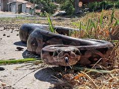 Sucuri foi vista por fotógrafo no meio da rua em Piracicaba (Foto: Mateus Medeiros/Arquivo pessoal)