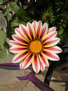 Cape Daisy - Osteospermum ecklonis (Asteroideae) - Google Search