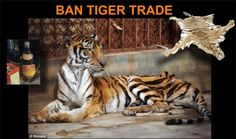 Ban Tiger Trade | The Premier of China, Wen Jiabao has publicly stated that he is committed to saving the wild tiger. (Read his comment - Nov 2010) However, his government is allowing trade in tiger skins from tiger farms and skins taken before poaching was outlawed. This trade is acting as a smokescreen for skins taken by killing wild tigers. If China does not stop this trade, the wild tiger is doomed.  See how they obtain the tigers and more tiger farm images » Sign the Petition!
