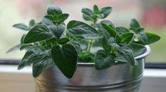Oregano-táto voňavá rastlina dokáže so zdravím divy! Oregano Oil, Nordic Interior, Healing Herbs, Medicinal Plants, Mojito, Korn, Life Is Good, Detox, Health Fitness