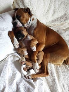 Boxer with puppy