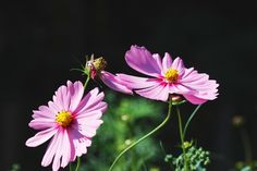 Pink cosmos.  I've taken and developed so that the dark background.