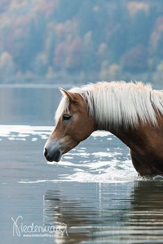 Haflinger - by Bettina Niedermayr Beautiful Horse Pictures, Most Beautiful Animals, Beautiful Horses, Haflinger Horse, Majestic Horse, All The Pretty Horses, Equine Photography, Nature Photography, Palomino