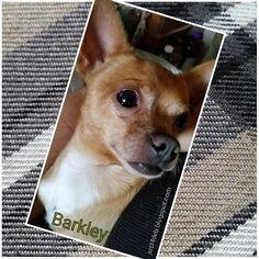 #Barkley #Chihuahua  #family #dogs
