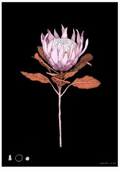 LOW RES King Protea Black Edith Rewa A4.jpg
